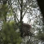 """2-zeearend jong op nest_D5H8043 • <a style=""""font-size:0.8em;"""" href=""""http://www.flickr.com/photos/29476293@N05/34515103780/"""" target=""""_blank"""">View on Flickr</a>"""